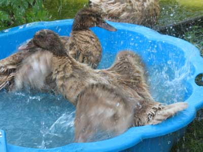 Ducks Flapping Wings In Water