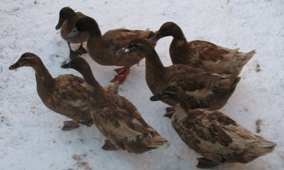 Khaki Campbell Ducks and Drake in The Snow December 2009