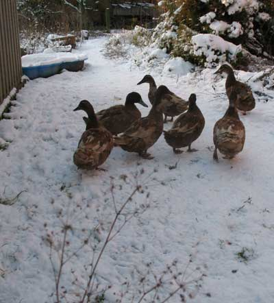 Ducks and drake wandering off in the snow.