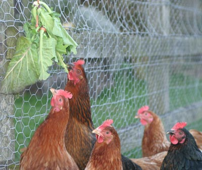 Chickens Enjoying Fresh Greens