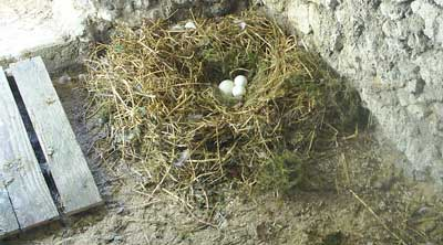 Sally The Embden Goose's Nest With Goose Eggs