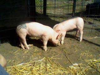 Hampshire York Cross Barrow & Gilt Pigs