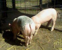 Keyley's Hampshire York Cross Barrow & Gilt Pigs