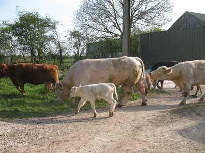 The cows and calves nearly at the back field.