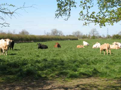 The cattle enjoying the sunshine and laying around the field.