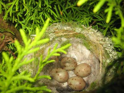 Chaffinch Nest With Four Chaffinch Eggs