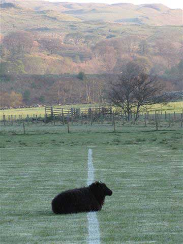 Hebridean Ewe Photo Taken By Sheila
