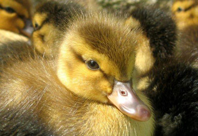 Wild Mallard Duckling Up Close, Photograph Taken By Ken