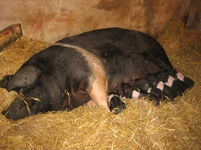 Holly the saddleback sow and her seven piglets.